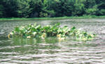 Spatterdock - Cow Lily